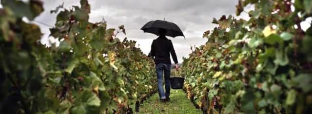 burgundy-harvestWet