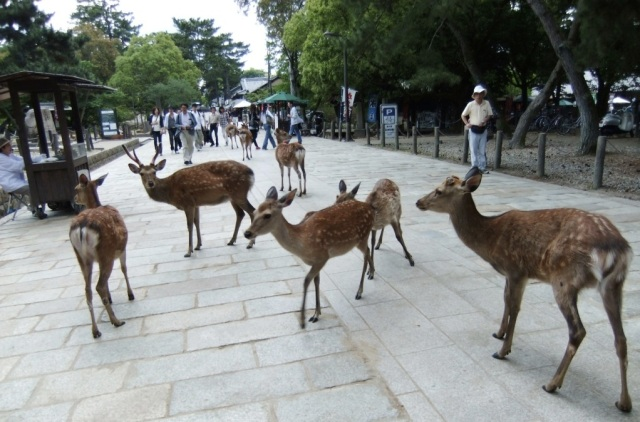 Nara adorable deer