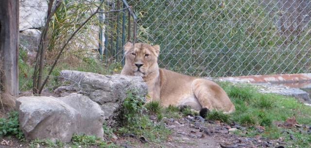 Lyon Lion