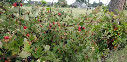 Wild blackberries Near Farm