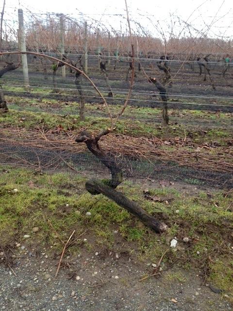 Chambouton Vine