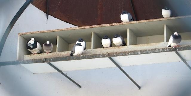 Fancy Pigeons Vienna Schonbrunn