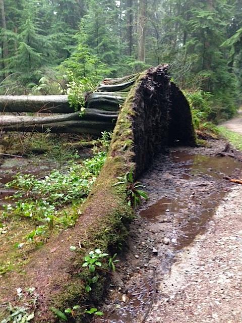 Stanley Park Fallen tree