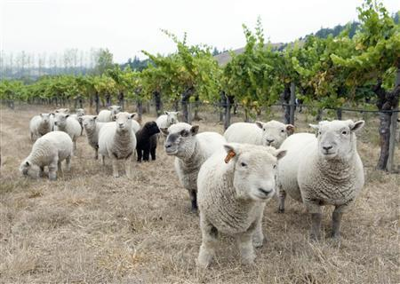To match Reuters Life! WINE-SHEEP/