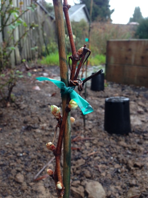 Grape Vines Buds