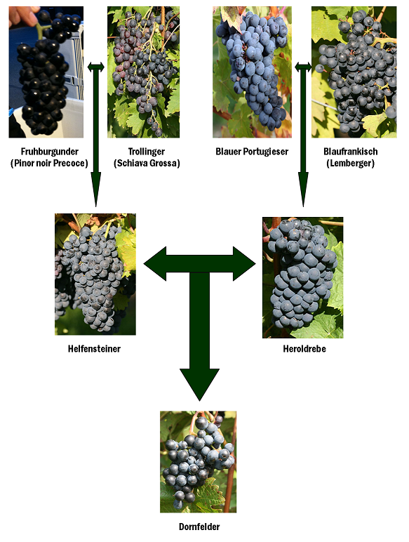 Dornfelder family tree german wine grape