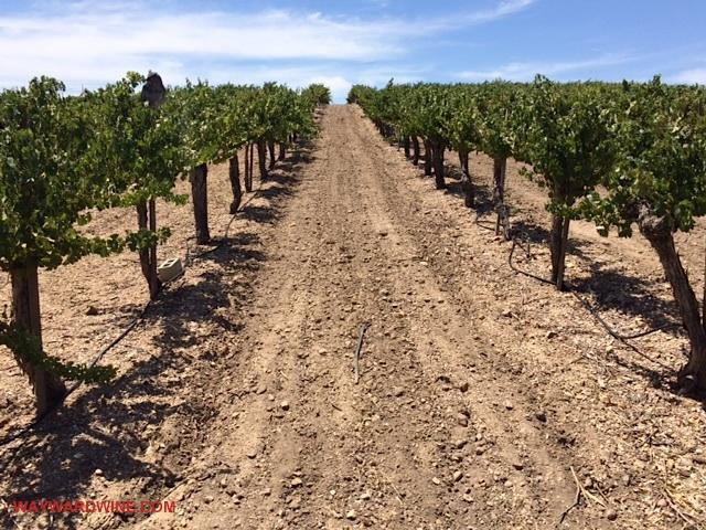 Perata Cabernet Sauvignon Vines
