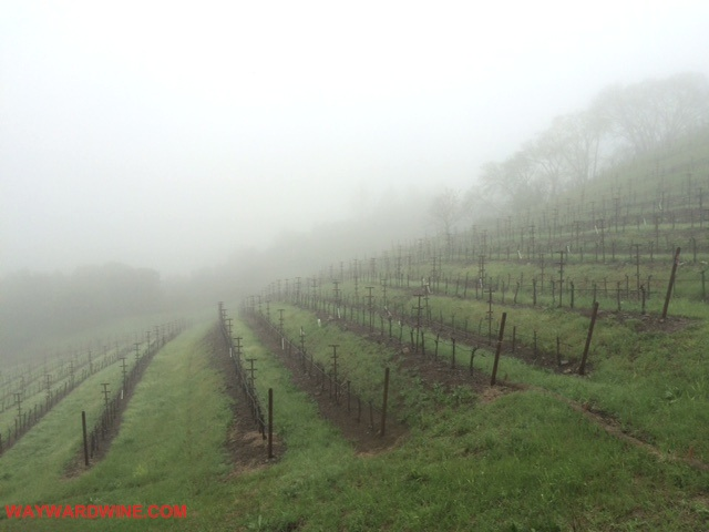 Newton Vineyard Fog Vineyards