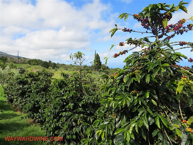 O O Coffee Plant Rows