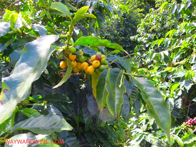 Yellow Cattura coffee bean