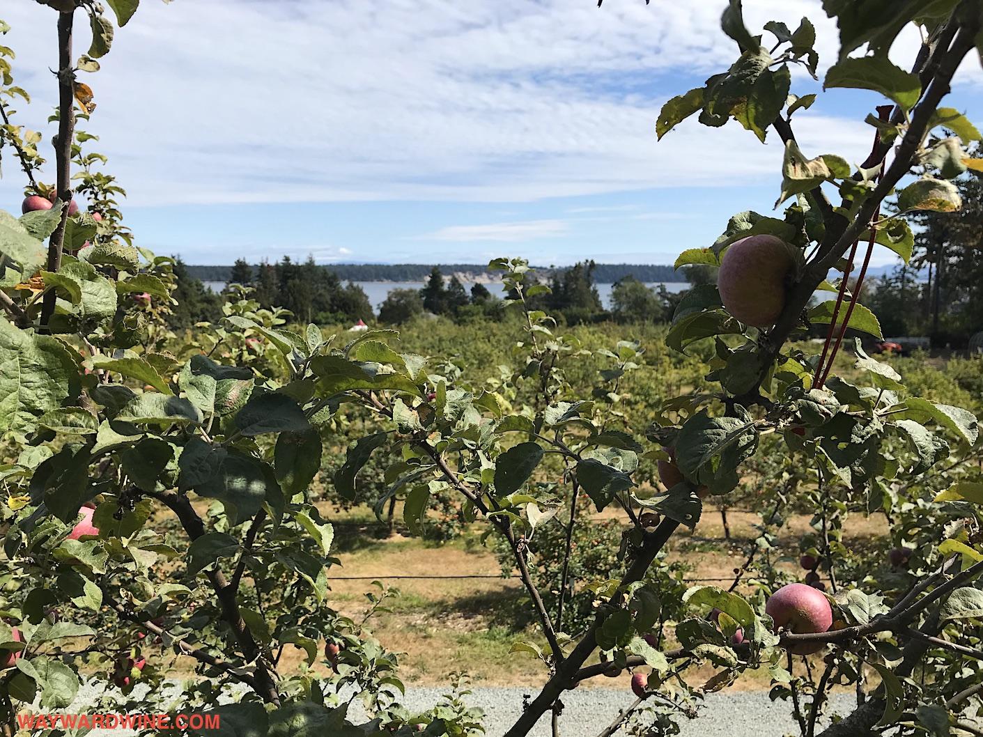Apples Sea Cider View